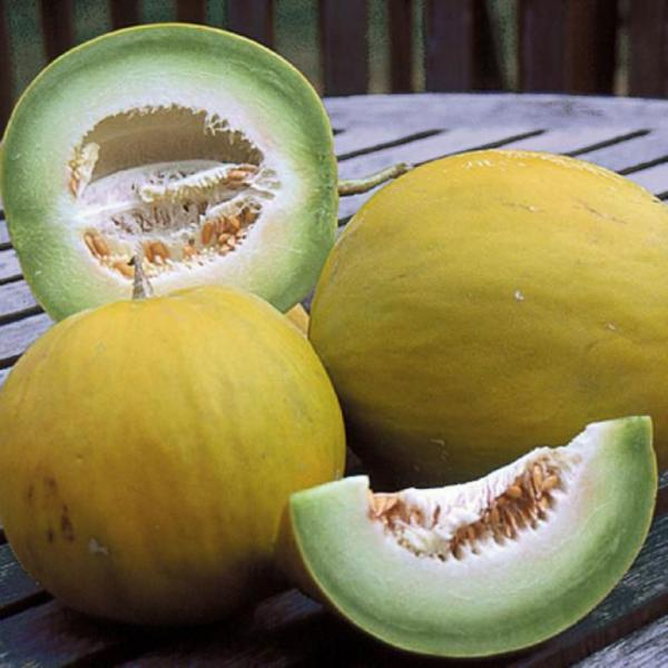 BOULE D'OR Melon FRENCH 10 seeds