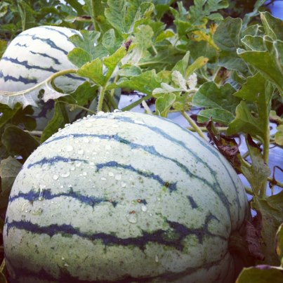 Dixie Queen Watermelon 10 seeds
