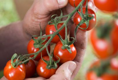 Large red TAPAS cherry tomato 20 seeds