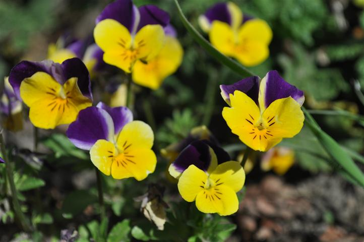 Johnny Jump up Wild Pansy 75 seeds