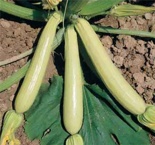Lungo Bianco courgette  10 seeds