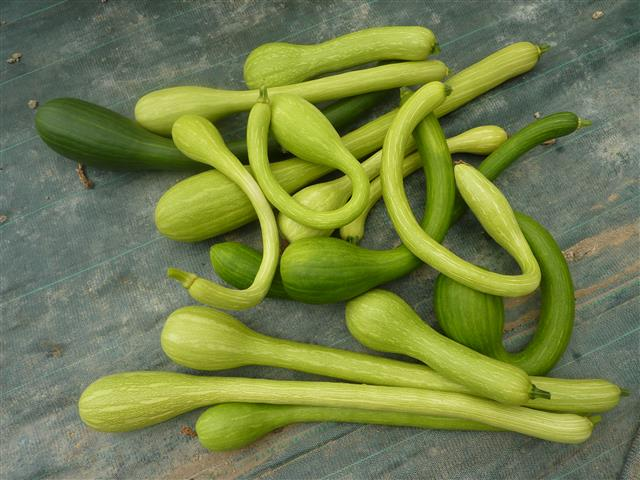 Long de Nice courgette  10 seeds