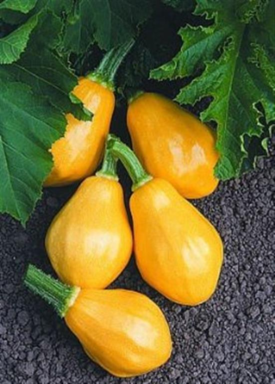 Papaya pear courgette  10 seeds