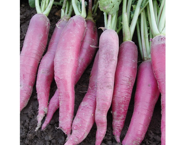 Pink Summer Icicle  Radish  1 gm seeds