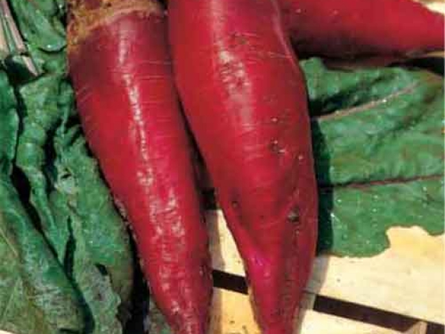 Heirloom Red Mammoth fodder beet  1gm seeds