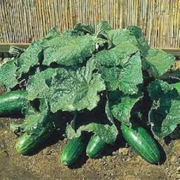 SPACEMASTER Cucumber ENGLISH heirloom 10 seeds