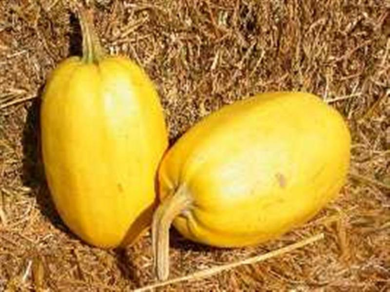 Vegetable Spaghetti winter squash 10 seeds