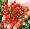Sweet Pea red currant 20 seeds