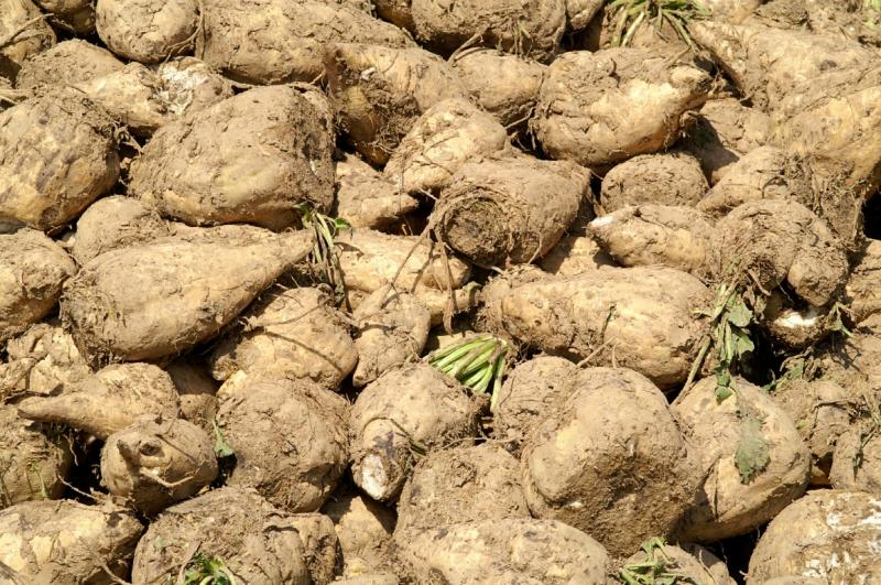 Heirloom Sugar Beet Grow your own sugar 1gm seeds