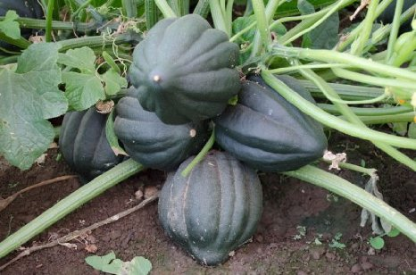 Table King green acorn squash 10 seeds