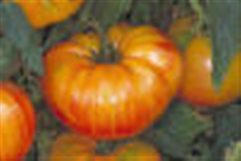 ANANAS PINEAPPLE STRIPED Beefsteak tomato 20 seeds