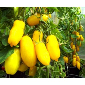 Lemon Plum paste tomato 20 seeds