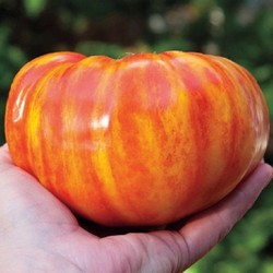 BIG RAINBOW STRIPED Beefsteak tomato 20 seeds