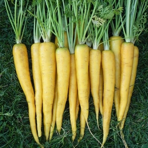Heirloom carrot AMARILLO YELLOW 1gm seeds