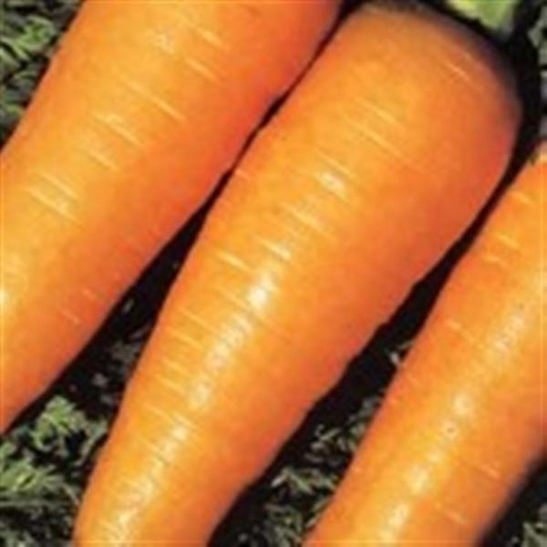 FRENCH carrot CHANTENAY 1gm seeds