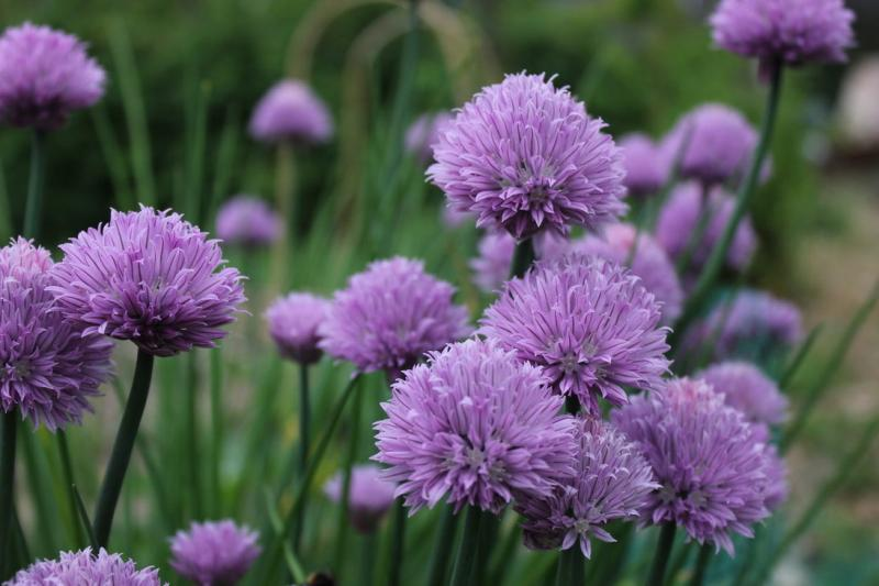 Purple Chive Flowers 100 seeds