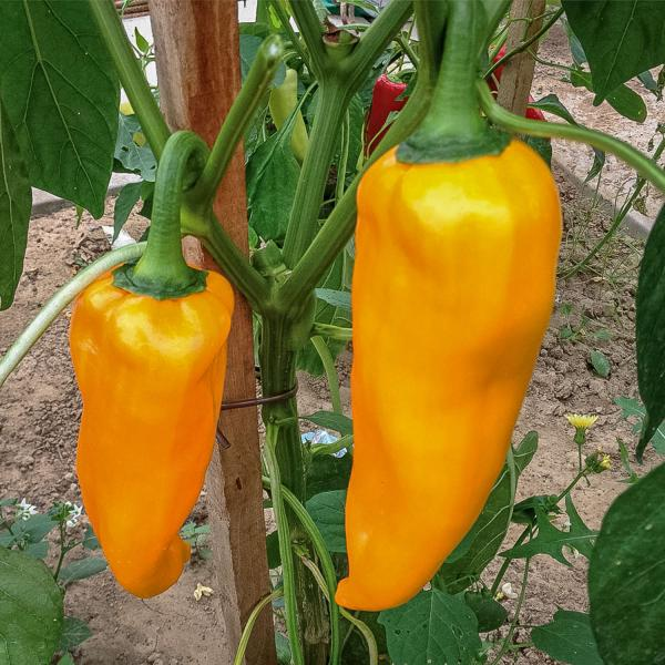Corno di Toro Giallo Yellow Pepper 20 seeds