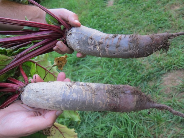 Heirloom Beetroot Cylindra 1gm seeds