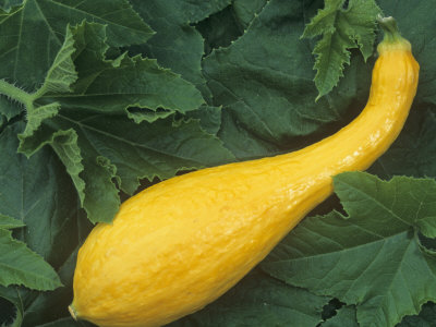 Early Yellow crookneck  courgette 10 seeds
