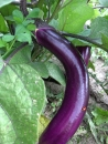 Pintung long purple Aubergine 20 seeds