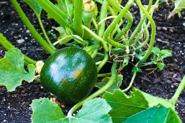 Eight ball courgette  10 seeds