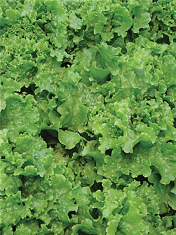 French heirloom Lettuce seeds GREEN ICE 100 seeds