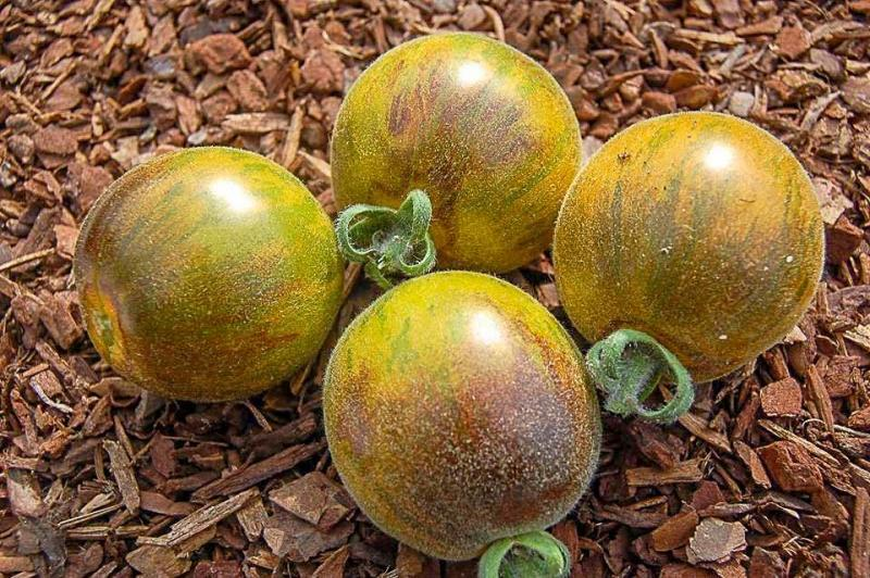 Woolly Green Zebra salad tomato 20 seeds