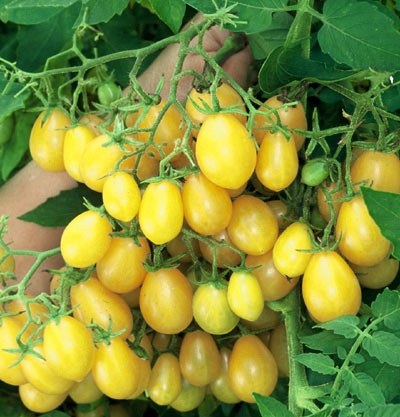 Ildi lemon yellow grape 20 seeds