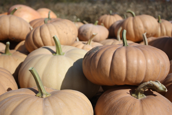 Long Island Cheese winter squash 10 seeds