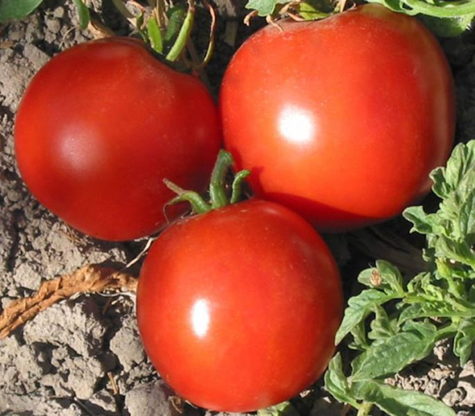 Manitoba Canadian Red Beefsteak tomato 20 seeds