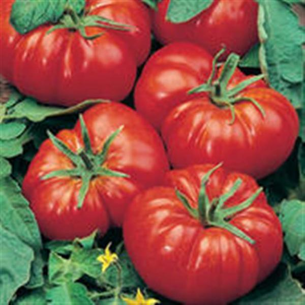 Marmande French Red Beefsteak tomato 20 seeds