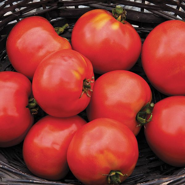 Moskvich Russian Red Beefsteak tomato 20 seeds