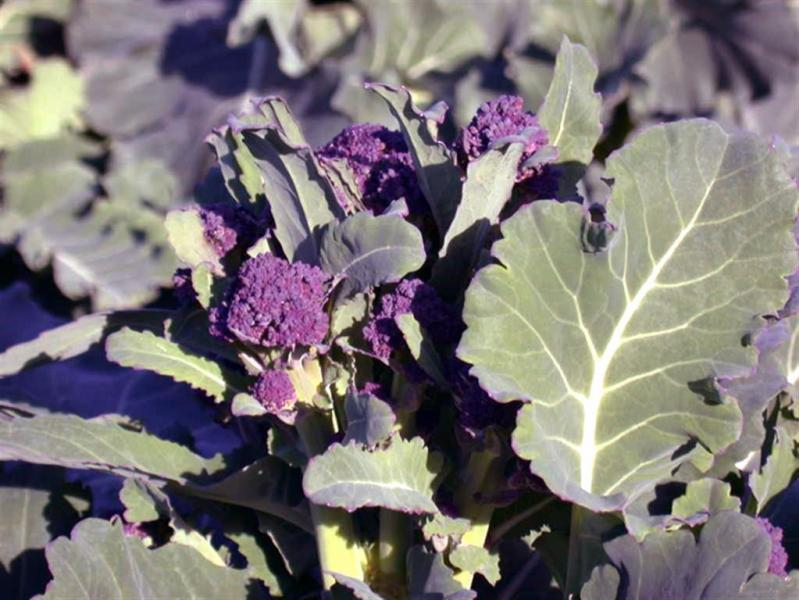 Heirloom Purple sprouting broccoli 100 seeds