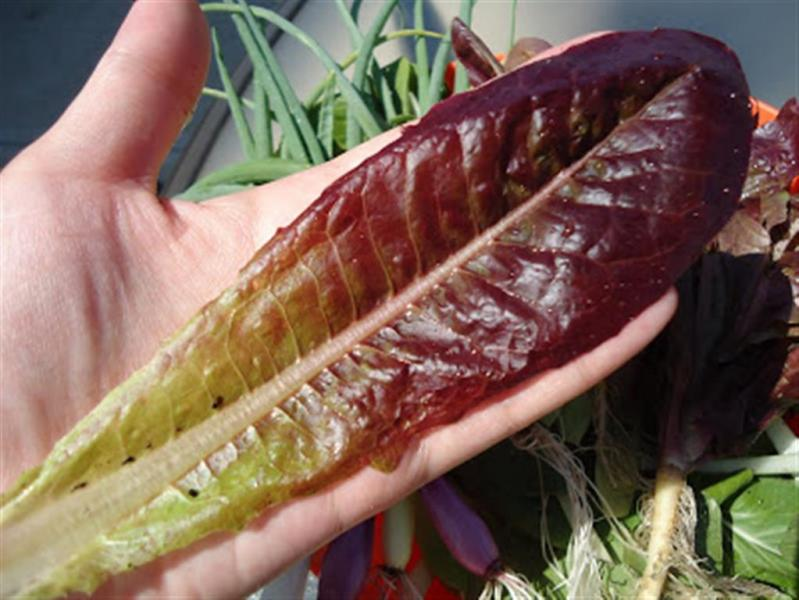 USA Heritage heirloom COS Lettuce seeds RED ROMA...