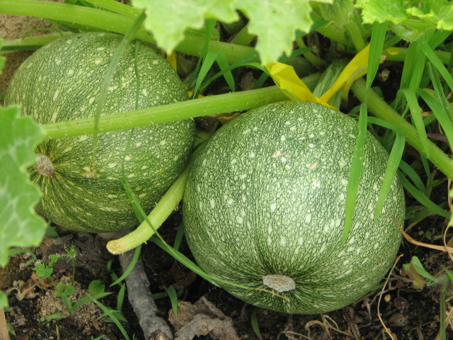 Tatume green round  courgette  10 seeds