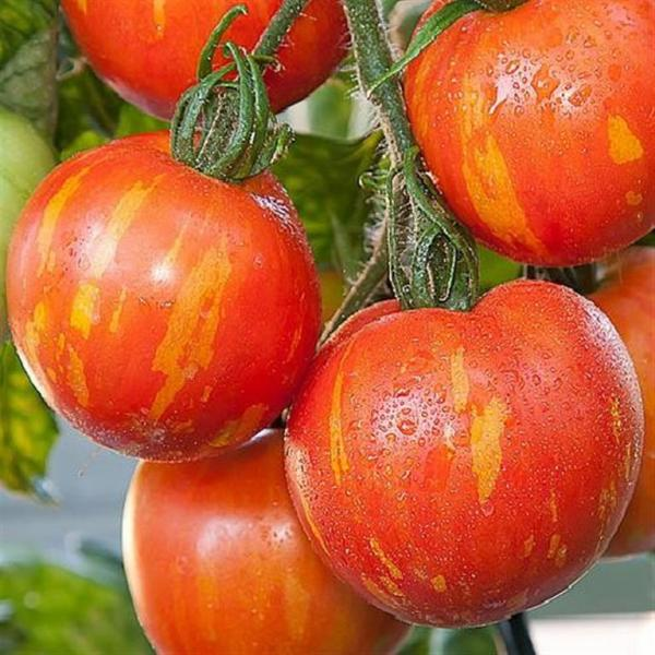 Red Zebra striped salad tomato 20 seeds