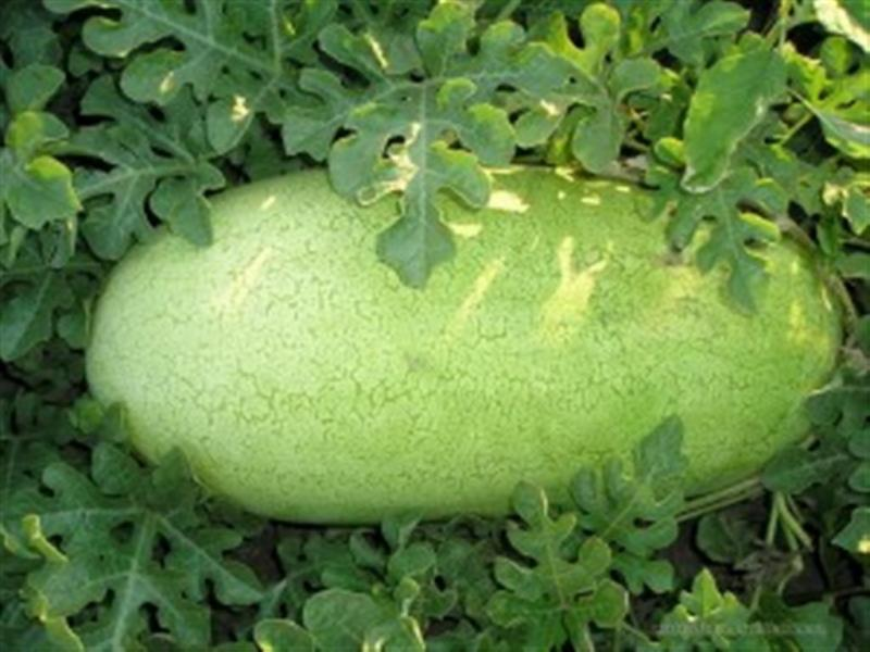 Charleston Grey Watermelon 10 seeds